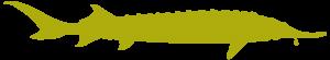 acipenser stellatus 300x55 - До Всесвітнього дня дикої природи: осетрові риби Дунаю