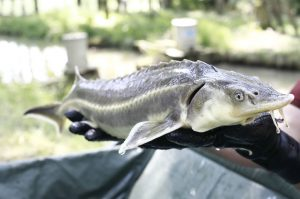 New WWF Austria 1 1 300x199 - Deutsche Welle: Poaching, dams imperil ancient Danube fish