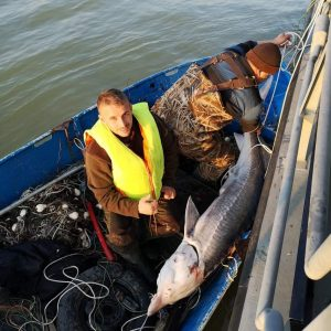 another sturgeon saved bg 1 300x300 - Poachers are not Afraid of Viruses: 2 Sturgeon Rescues, 2 Countries, 2 Days