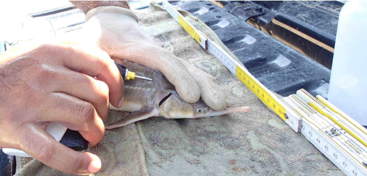 WWF Bulgaria collaborates with fishermen to monitor and report sturgeon bycatch