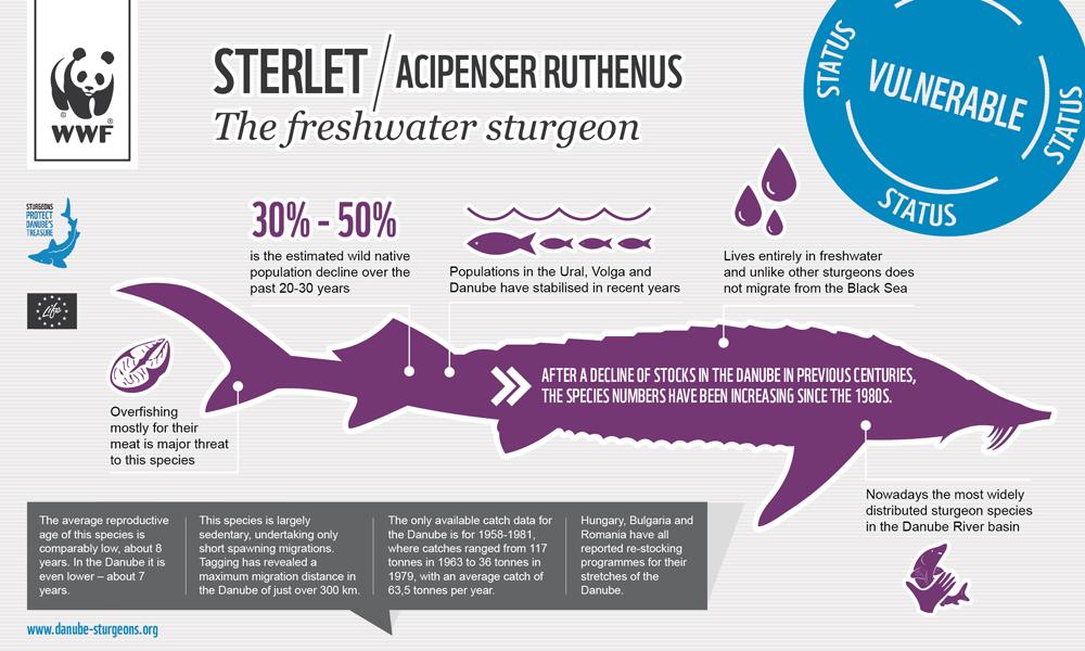 Sturgeons_Infograph